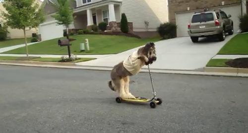 cão que adora um patinete